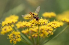 "Hoverfly on yellow flowers. (celia.mulhearn) Tags: hoverfly nationaltrust ""lytes cary"" canon1855mm macro"