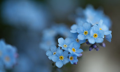 Alpine forget-me-not (vogl_claus) Tags: forgetmenot blue flower macro