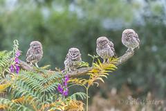 Little Owl (Athene noctua) (phil winter) Tags: littleowl athenenoctua fledglings perched bracken foxgloves