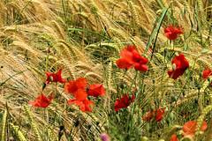 P1110702 (alainazer2) Tags: saintmichellobservatoire provence france fiori fleurs flowers fields champs colori colors couleurs coquelicot poppy papavero blé grano wheat