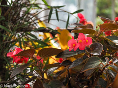 Tropical Flower (bluehazyjunem) Tags: tropicalflower red oofunaflowercenter greenhouse