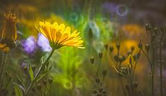 Wildflower (Dhina A) Tags: sony a7rii ilce7rm2 a7r2 a7r minolta rf rokkorx 250mm f56 mirror reflex minolta250mmf56 md prime rokkor bokeh manualfocus wildflower flower
