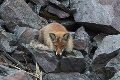 Red Fox at Berlevåg S24A4256 (grebberg) Tags: varanger finnmark norway june 2019 berlevåg redfox vulpesvulpes fox animal vulpes mammal rødrev