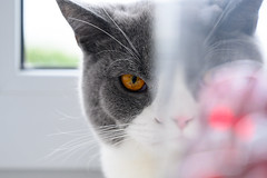 FZ6_2964 (Artfrost) Tags: cat eye peeping evil boke red gray artfrost animal british bicolor