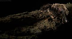 Tarantula emerging from burrow (pbertner) Tags: rainforest rainforestexpeditions amazon southamerica peru perunature ant understory refugioamazonas madrededios tambopata puertomaldonado nocturnal tarantula nest burrow mygalomorph