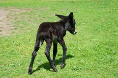 Equus asinus asinus - Hausesel (PictureBotanica) Tags: tiere säugetiere haustiere nutztiere esel equus essehof wildpark
