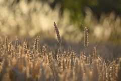 Épis de blé (Excalibur67) Tags: nikon d750 sigma contemporary globalvision 100400f563dgoshsmc paysage landscape champs campagne moissons blé nature bokeh