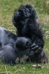 BVG_2880 (Borreltje.com) Tags: silverback gorilla nature wild dangerous primate