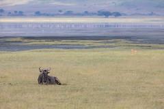 (Markus Hill) Tags: ngorongoro crater arusha krater tansania africa travel lake nature animal canon landscape tanzania flamingo safari gnu wildebeest 2019