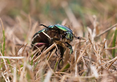 Rose-chafer_6596 (Peter Warne-Epping Forest) Tags: rosechafer coppedhall closeup macro peterwarne