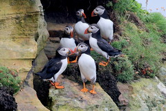 A Circus Of Puffins (Ally.Kemp) Tags: circus puffins sea birds scottish caithness season group puffin north northern