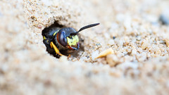 Beewolf (Max Thompson Photography) Tags: nature wild animal bee beewolf digger wasp sand tailed green eyed flower arne rspb dorset burrow food hunt