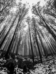 Foggy Trees (Joel Bramley) Tags: fog foggy nature landscape trees snow victoria australia mountain