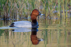 Pochard (JS_71) Tags: nature wildlife nikon photography outdoor 500mm bird new summer see natur pose moment outside animal flickr colour poland sunshine beak feather nikkor d500 wildbirds planet global national wing eye watcher