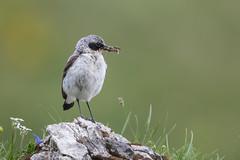 Steinschmätzer (wsprecher) Tags: wildlife steinschmätzer singvögel alpen gebirge ngc