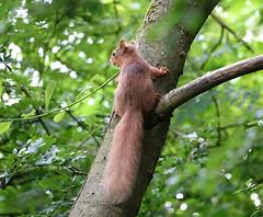 Cyril (hedgehoggarden1) Tags: redsquirrell mammal animal wildlife nature creature sonycybershot scotland vanefarm rspb lochofleven uk sony squirrell