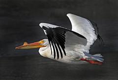 American White Pelican (Pelecanus erythrorhynchos) (Ron Wolf) Tags: americanwhitepelican paloaltobaylands pelecanidae pelecaniformes pelecanuserythrorhynchos adult bird breeding flight nature wildlife paloalto california