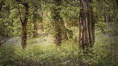 one morning in May | Kinclaven Wood | Perthshire (Weir View) Tags: photo landscape woodland stillness tranquillity may morning earlymorning kinclavenwood perthshire scotland