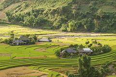 _J5K8929-31.1.1011.Lìm Mông.Cao Phạ.Mù Cang Chải.Yên Bái (hoanglongphoto) Tags: asia asian vietnam northvietnam northwestvietnam northernvietnam landscape scenery vietnamlandscape vietnamscenery terraces terracedfields village homes flanksmountain seasonharvest canon canoneos1dsmarkiii tâybắc yênbái mùcangchải caophạ lìmmông thunglũnglìmmông ruộngbậcthang lúachín mùagặt ruộngbậcthangmùcangchải bảnlìmmông nhữngngôinhà sườnnúi nắngchiều sunnyafternoon mùcangchảimùagặt mùcangchảimùalúachín valley limmongvalley canonef100400mmf4556lisusm
