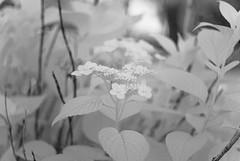 Town Center (Isodopoulos) Tags: town center flower nature garden nikon d80 dslr ir infrared manual focus m42 jena pancolar 50 18 dof bw black white blackandwhite bnw