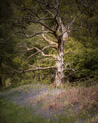 the cycle of life | Kinclaven Wood | Perthshire (Weir View) Tags: photo landscape woodland kinclavenwood perthshire scotland stark deadtree cycleoflife spring may