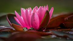 waiting for ... (Roger Armutat) Tags: seerose teich frosch laubfrosch natur sony tümpel tele pink froschaugen sonya7ii tier 300mm frog frogeyes flower animal nature sealily