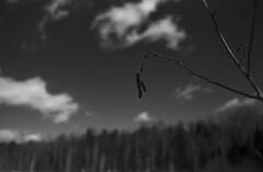 (Armin Schuhmann) Tags: praktica mtl mtl3 pentacon auto 29mm f28 f2829 29f28 meyer meyeroptik ddr vintagecamera vintagelens vintage yellowfilter ilford fp4 125asa rodinal 1100 screwmount m42 argentique analogue analogic analog analogo spring 2019 filmisnotdead filmphotography filmscan filmphoto film filme monochrome monochrom ishootfilm pelicula scan selfdeveloped shootfilm schwarzweiss schwarzweis sw schwarzundweiss sky clouds trees branch flower dried forest woods estrie easterntownships quebec canada nature landscape backcountry countryside field orestegon