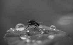 Fly macro (steffos1986) Tags: nature insect macro fly flora water raindrops waterdrops monochrome blackandwhite blackwhite bokeh summer beautiful tamron90mm28macro nikond800 fx fullframe dslr makro closeup norway scandinavia europe garden wild light sun