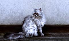 Persian Beauty (giamma.demattia) Tags: cat kitten italian animal pet cute persian white grey shades portrait fur furry beauty beautiful amazing persia east west world wall frame