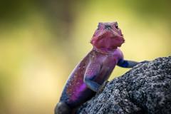 _DSC4350 (Viajar Code: Veronica) Tags: agama dragon dragó dragón lagarto lizard llangardaix serengeti