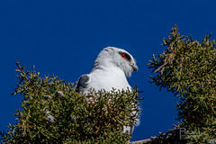Black-shouldered Kite (Aspect_Images) Tags: birdlife birdphotography birdsofflickr birds bird ngc naturephotography nature wildlifephotography wildlife blackshouldered kite raptor