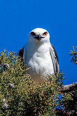 Those Eyes, Tho (Aspect_Images) Tags: birdlife birdphotography birdsofflickr birds bird ngc naturephotography nature wildlifephotography wildlife blackshouldered kite raptor canberra jerrabomberra