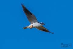 'Got It' (Aspect_Images) Tags: birdlife birdphotography birdsofflickr birds bird ngc naturephotography nature wildlifephotography wildlife blackshouldered kite raptor