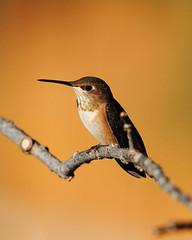 Rufous Hummingbird (jlcummins) Tags: rufoushummingbird hummingbird bird backyardbirds yakimacounty washingtonstate