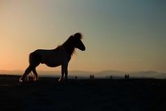 #horse #sunset #beach #mini #poney #shetland #montpellier (Noémie_Angel's_Winks Photograpy) Tags: horse shetland mini sunset beach montpellier poney
