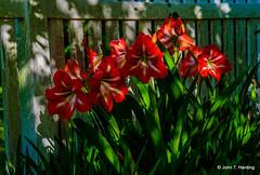 Amaryllis In Shade (T i s d a l e) Tags: tisdale amaryllisinshade blooms flowers amaryllis fence shade spring 2019 senorthcarolina
