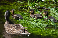 Ducklings and mum (Mikon Walters) Tags: ducks ducklings duckling duck mother mum female water swimming drifting nikon d5600 sigma 150600mm contemporary super zoom lens photography close up uk england cute fluffy small tiny babies baby