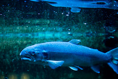 A Pill or Three (Thomas Hawk) Tags: america chicago cookcounty illinois johngsheddaquarium museumcampuschicago sheddaquarium usa unitedstates unitedstatesofamerica aquarium fish fav10