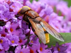 Volucella zonaria (Nevrimski) Tags: volucella zonaria hoverfly budlia