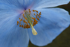 Himalayan Poppy (shawn~white) Tags: blue flower macro floral wales garden 50mm nationaltrust meconopsis bodnantgarden himalayanpoppy canon6d ©shawnwhite