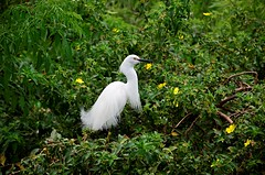 Show Off (pjpink) Tags: white bird feathers frilly curving gatorland centralflorida orlando florida fl april 2019 spring pjpink 2catswithcameras