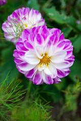 _DSC5844 (Helge Andersen) Tags: blomst hage hagen blomster garden planter