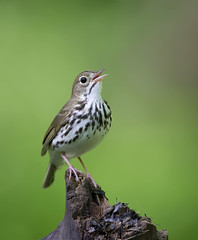 Ovenbird.Lake hope ohio. (mandokid1) Tags: canon 1dx ef600mm11 birds warblers