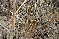 Vipera Berus. (ChristianMoss) Tags: adder snake vipera berus