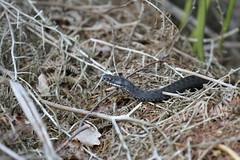 Vipera Berus. (ChristianMoss) Tags: adder snake vipera berus black reptile melanistic