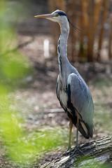 Grey Heron (Antoine Hoeffelman) Tags: bokeh wildlifephotography héroncendré animalbokeh wildlife pentax ~photography belgium bird héron oiseaux green ~typeofphotography oiseau photography animal