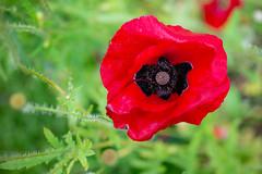 _DSC5830 (Helge Andersen) Tags: blomst hage hagen blomster garden planter