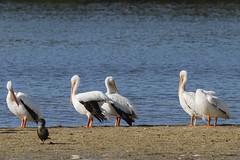 American White Pelican - Ding Darling National Wildlife Refuge, Sanibel Island, Florida (Larry Hubble) Tags: americanwhitepelican pelecanuserythrorhynchos dingdarlingnationalwildliferefuge sanibelisland florida unitedstates