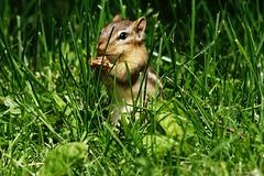 Eastern Chipmunk (Anne Ahearne) Tags: wild animal nature wildlife cute chipmunk grass easternchipmunk