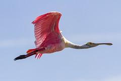 Roseate Spoonbill - Ding Darling National Wildlife Refuge, Sanibel Island, Florida (Larry Hubble) Tags: roseatespoonbill plataleaajaja dingdarlingnationalwildliferefuge sanibelisland florida unitedstates